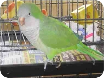 Parakeet - Quaker for adoption in Salt Lake City, Utah - Max