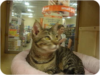 Domestic Shorthair Cat for adoption in Owasso, Oklahoma - Petsmart Mindy II