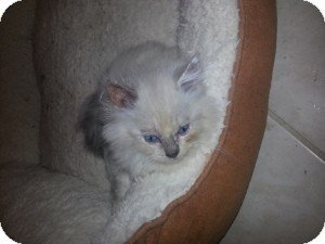 Ragdoll Kitten for adoption in Ennis, Texas - Haven