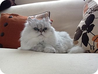 Persian Cat for adoption in Bonita Springs, Florida - Zoe