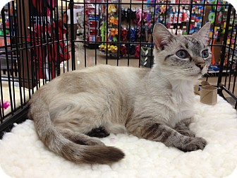 Siamese Cat for adoption in Vero Beach, Florida - Claire