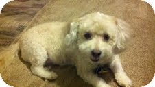 Poodle (Miniature) Mix Dog for adoption in Shawnee Mission, Kansas - Peach Cobbler (Peaches)