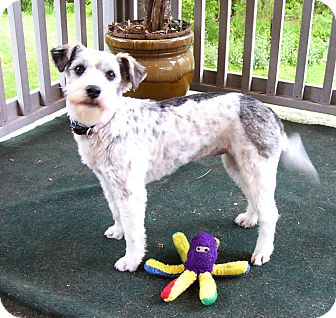Schnauzer (Standard)/Fox Terrier (Wirehaired) Mix Dog for adoption in Mocksville, North Carolina - Lovie