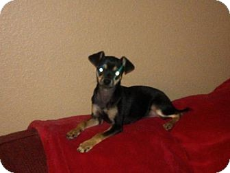 Miniature Pinscher/Chihuahua Mix Puppy for adoption in Las Vegas, Nevada - Penelope