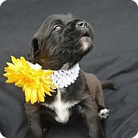 Adopt A Pet :: Sydney - Plano, TX
