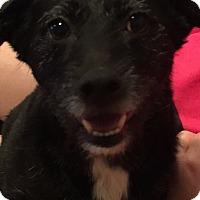 Adopt A Pet :: Ziggy - Windermere, FL