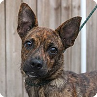 Adopt A Pet :: Scooby S - -A Celebrate Home Dog! Lower Fee! - Yardley, PA