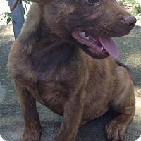 Adopt A Pet :: Jag - Boston, MA