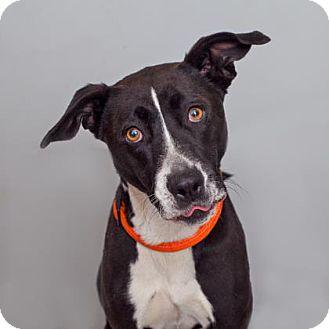 Labrador Retriever/Pointer Mix Dog for adoption in Mission Hills, California - Audrey
