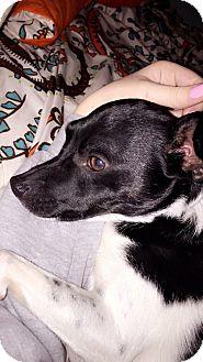 Rat Terrier/Chihuahua Mix Dog for adoption in Overland Park, Kansas - Reggie & Yogi