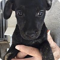 Dachshund/Standard Schnauzer Mix Puppy for adoption in Lancaster, California - Puppy