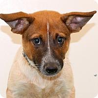 Adopt A Pet :: Ansel - Glastonbury, CT