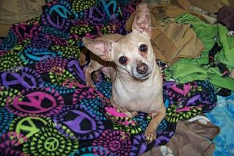 Chihuahua Dog for adoption in Glendale, Arizona - Zeus