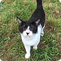 Domestic Shorthair Cat for adoption in Palmyra, New Jersey - Milo