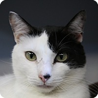 Domestic Shorthair Cat for adoption in Sarasota, Florida - Mystery
