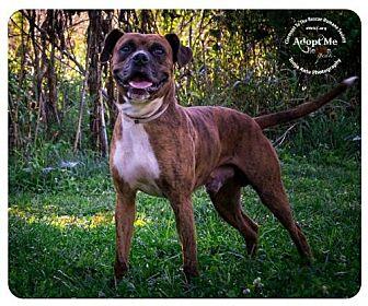 Boxer Mix Dog for adoption in Batavia, Ohio - Ernest