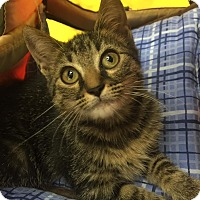 Domestic Shorthair Kitten for adoption in Burlington, North Carolina - GRACE