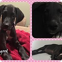 Adopt A Pet :: Luna Lovegood - DOVER, OH
