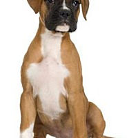 Boxer Mix Dog for adoption in San Bernardino, California - URGENT ON 10/12 San Bernardino