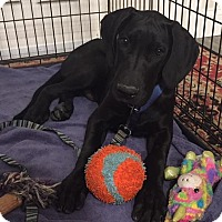 Great Dane Puppy for adoption in St. Louis Park, Minnesota - Hugo