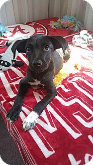 Labrador Retriever/Terrier (Unknown Type, Medium) Mix Puppy for adoption in Earlville, New York - Sara Bell
