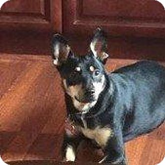 Manchester Terrier Mix Dog for adoption in Hampton, Virginia - BISCUIT