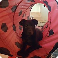 Adopt A Pet :: Prince - Lacey, WA