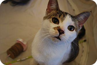 Domestic Shorthair Kitten for adoption in Exton, Pennsylvania - Mikey (TD)