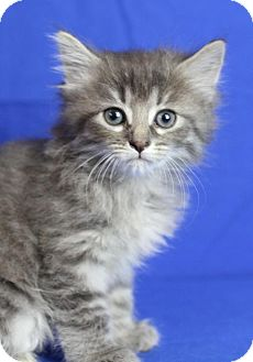 Domestic Longhair Kitten for adoption in Winston-Salem, North Carolina - Aurora