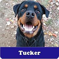 Adopt A Pet :: Tucker - Armonk, NY