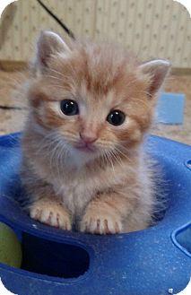 Domestic Shorthair Kitten for adoption in Valley City, North Dakota - Kittens (Courtesy Listing)