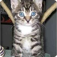 Adopt A Pet :: D'Artagnan - Reston, VA