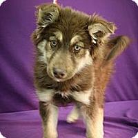 Adopt A Pet :: Flurry - Broomfield, CO