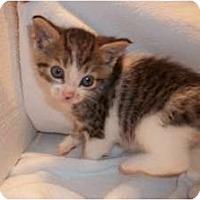 Adopt A Pet :: Tyra - Acme, PA