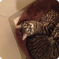Adopt A Pet :: Beau-FIV+ - Sterling Heights, MI