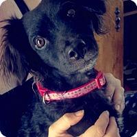 Adopt A Pet :: Savoy (Savy) - Las Vegas, NV