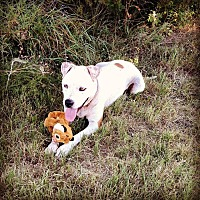 American Pit Bull Terrier/Labrador Retriever Mix Dog for adoption in Tuscola, Texas - Cinnamon