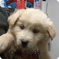 Adopt A Pet :: opal - baltimore, MD