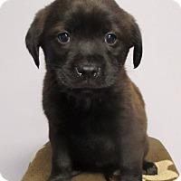 Adopt A Pet :: Ethan - 6 weeks old - Charleston, SC