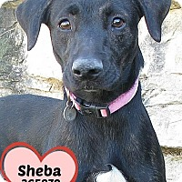 Adopt A Pet :: 365879 Sheba - San Antonio, TX