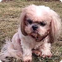 Adopt A Pet :: Mandy - Lincolnwood, IL