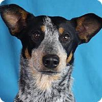 Adopt A Pet :: Duke - Minneapolis, MN