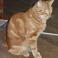 Domestic Shorthair Cat for adoption in Oak Ridge, Tennessee - Morris