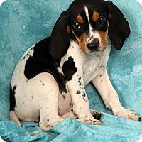 Adopt A Pet :: Babs Bluetick - St. Louis, MO