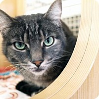 Domestic Shorthair Cat for adoption in Bellevue, Washington - Max
