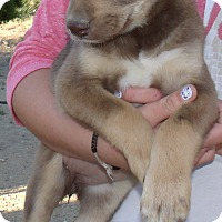 Adopt A Pet :: AMBER - Corona, CA