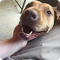 Adopt A Pet :: JayJay-LOCAL - Lebanon, ME