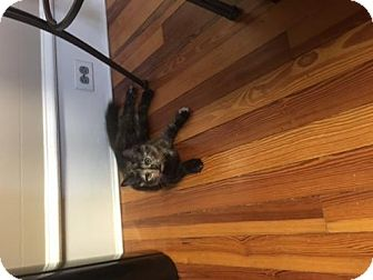 Maine Coon Kitten for adoption in Blairstown, New Jersey - NJ - Fiji