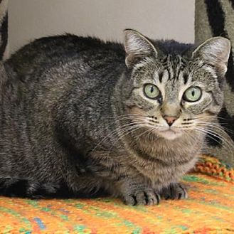 Domestic Shorthair Cat for adoption in Morgan Hill, California - Pearl