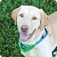 Labrador Retriever Mix Dog for adoption in Loxahatchee, Florida - Cody